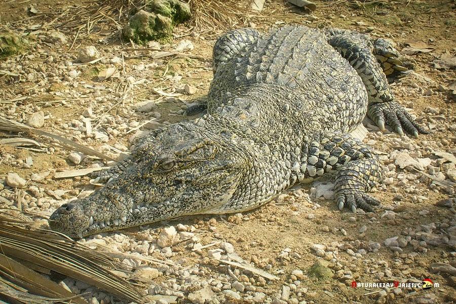 Criadero de cocodrilos, Cuba