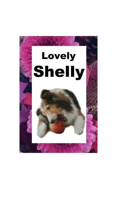 Lovely Sheltie