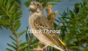 Hobi Yang Membawa Rezeki Membedakan Blackthroat Jantan Dan Betina