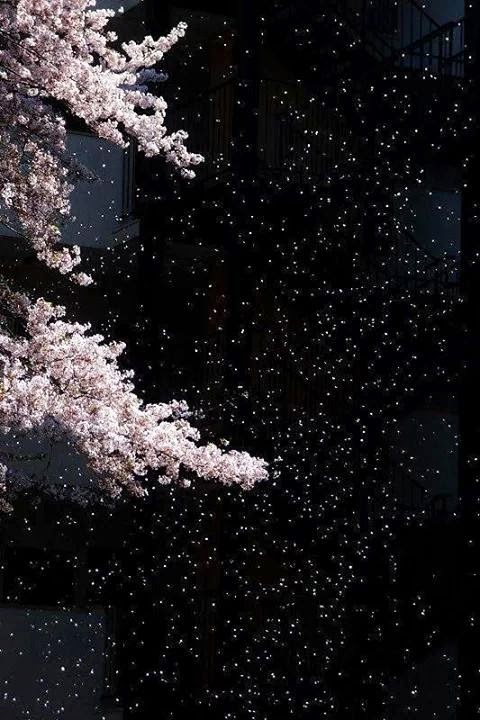 Amazing cherry blossom wallpapers for smartphone cherry for Amazing wallpapers for smartphones