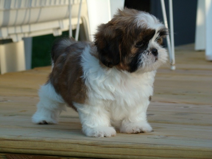 shih tzu info gallery puppy pictures 9342