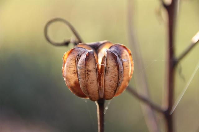 varjolilja, siemenkota