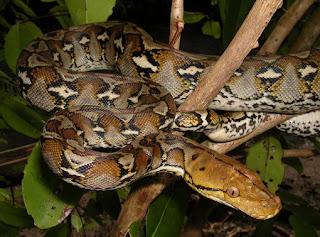 How to Keep Python Reticulatus