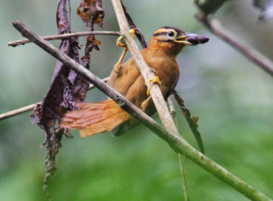 Black capped Foliage gleaner