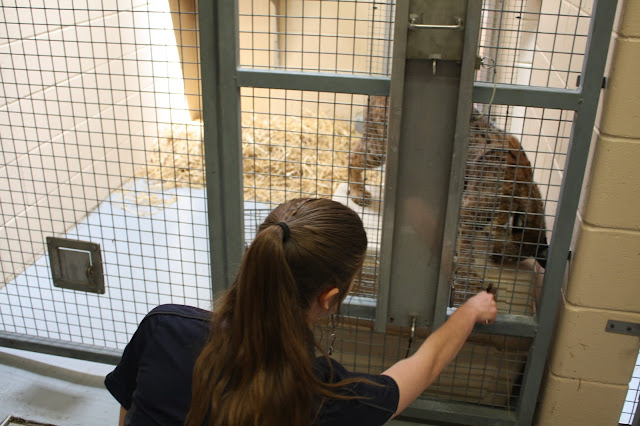 Bobcat training at Cosley Zoo