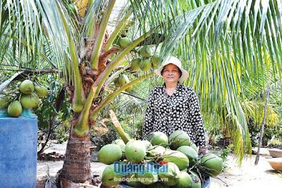 """Quảng Ngãi: Nắng nóng, trồng dừa xiêm lùn """"trúng mánh"""", 1 cây cho 2 triệu"""