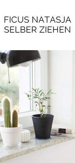 DIY Ficus Natasja/ Birkenfeige aus Steckling ganz einfach selber ziehen   Tasteboykott