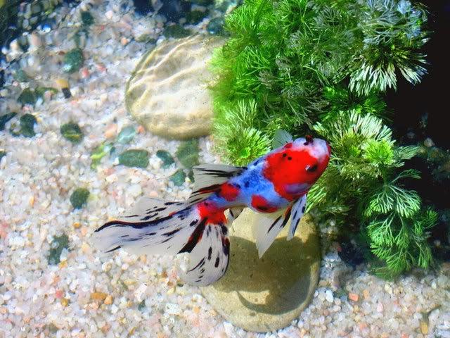 peces y plantas ornamentales estanques de agua fr a