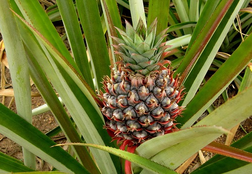 How to abort With Young Pineapple