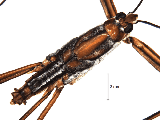 New species of water strider found in Nagaland