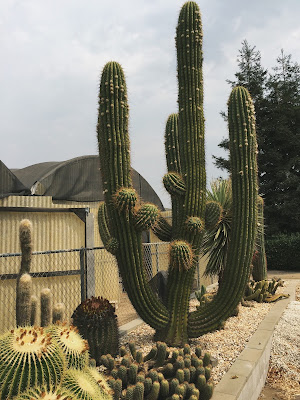A picture of a giant cowboy cactus at Poot's Cactus Nursery, Ripon, California