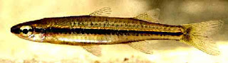 New hardyhead species kimberley