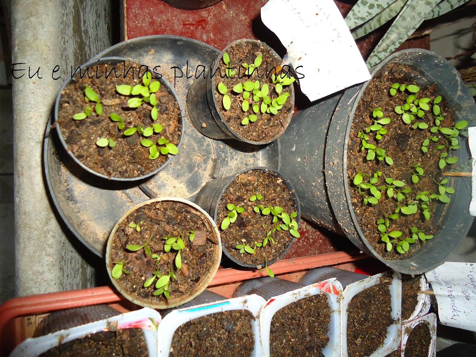 mini jardim em garrafas: plantinhas: Eu e minha plantinha Singônio/mini estufa/sementeira