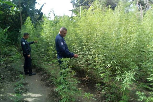 Familias sobreviven en Portuguesa sembrando marihuana