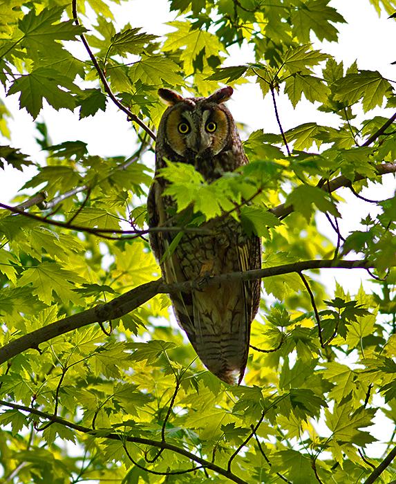 Twitch Owl