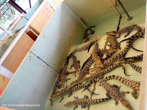 Puerto Princesa Travel Guide: juvenile crocodiles