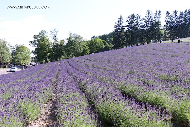 Furano Travel Farm tomita and Lavender Fields - Japan Guide