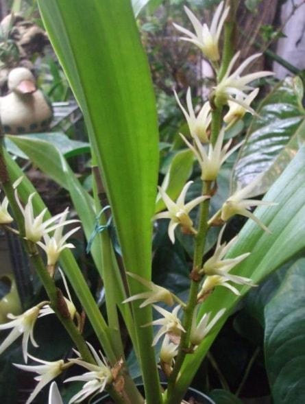 Gambar Bunga anggrek litofit