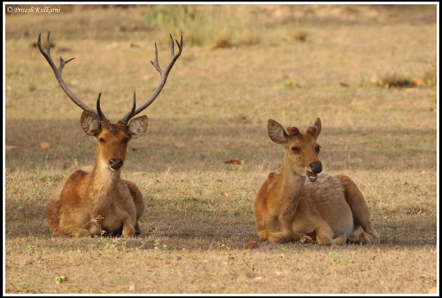 Barasingha deer, Also known as Indian Stag, Kanha National Park
