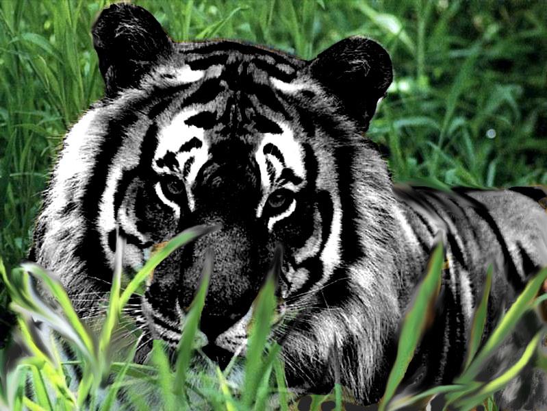 black tiger animal -#main