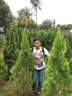 Cemara kipas tanaman hias