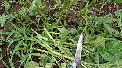 ハサミを使ってジャガイモ(ニシユタカ)の芽かき(芽の間引き)