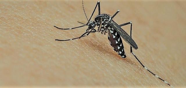 大きなやぶ蚊
