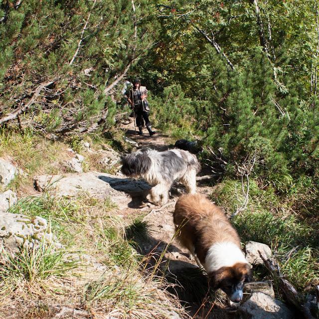 Román pásztor és három kutyája a Szkorota hágóba tart