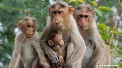 Kera hewan vivipar - berbagaireviews.com