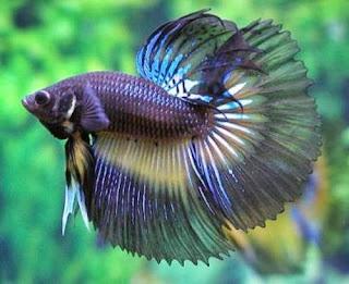 Jenis Ikan Hias Air Tawar Jenis Ikan Hias Air Tawar Akuarium Ikan Hias