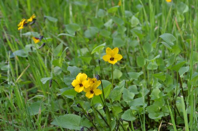 violets in a cluster