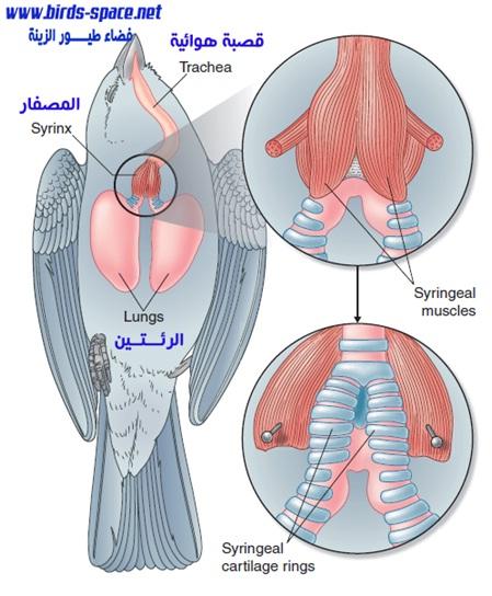 يعرف بفاش الرئة أو فاش الأكياس الهوائية لكن في الحقيقة الطفيلي يعيش في القصبة الهوائية للطائر (trachea)  المريض و المصفار (عبارة عن أنبوب في الجهاز الصوتي الــخاص بالطيور. يقع عند قاعدة   القصبة الهوائية ) (syrinx) و لذلك من الأنسب تسميه فاش القصبات الهوائية بدلا من فاش الأكياس الهوائية .