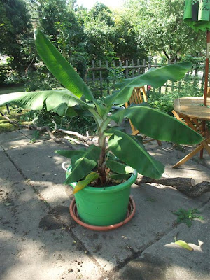 banana tree, 1 year, growing, michigan, climate, cold, big leaves