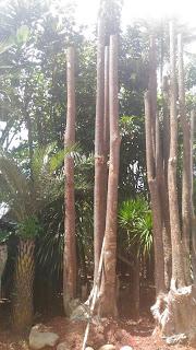 Jual pohon pule batang gruping harga paling murah