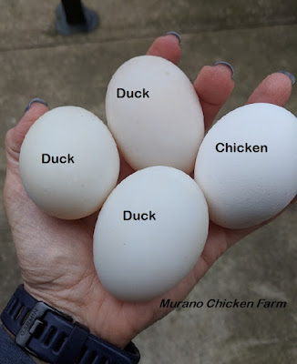 duck eggs compared to chicken eggs