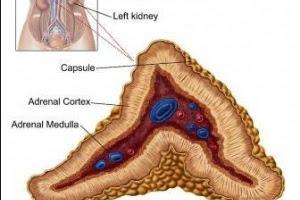 Kelenjar Adrenal Adalah - Kamus Biologi Online