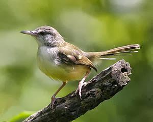 Dalam bahasa Inggris burung ciblek dikenal dengan nama  Mengenal Burung Perenjak Jawa atau Ciblek