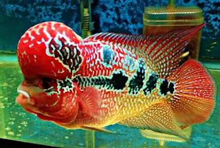 Jenis Ikan Louhan Golden Red