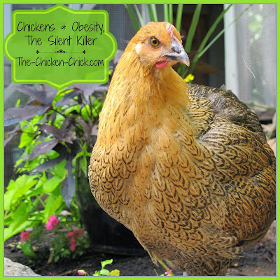 The backyard chickens of today are much different from grandma's chickens. They are being spoiled, getting fat and dying from obesity related complications. In order to spare our feathered pets the deadly consequences of obesity, we must familiarize ourselves with its causes, acknowledge our role in contributing to it and take affirmative steps to quash it.