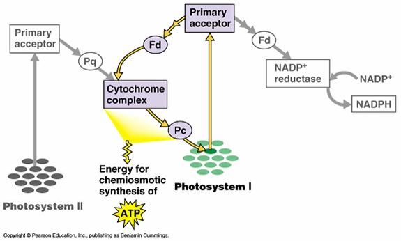 Fan of biology: Light dependent reactions in Photosynthesis