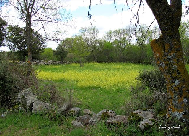 días de primavera, campo, flores amarillas, praderas verdes por la senda la puente en Fresnedilla de la Oliva