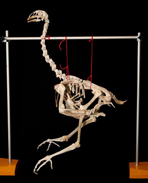 TIC y docencia: Guía de montaje de un esqueleto de vertebrado