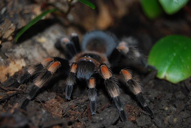 What is Red Knee Tarantula? Facts and information 3