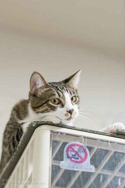 猫カフェ西国分寺シェルターのサバトラが積み上げたケージの上から見下ろしている写真