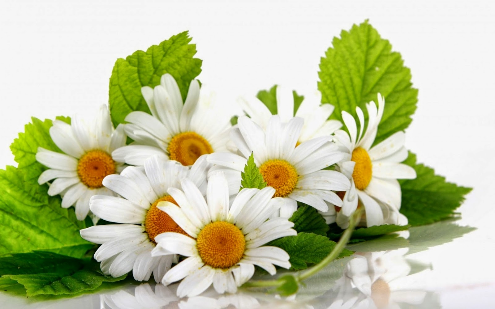 Daisy-flower-image-with-plain-white-background.jpg