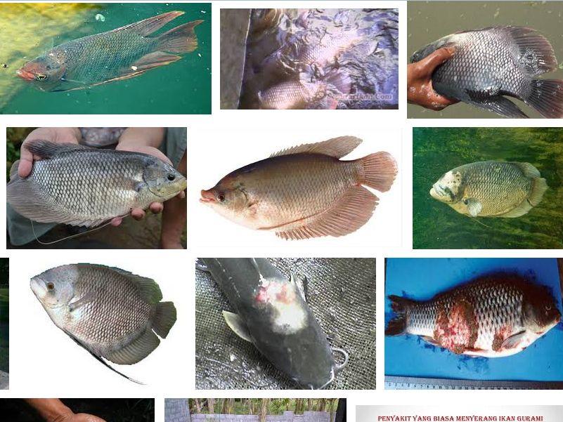 Ini Dia Cara Mengatasi Penyakit Ikan Gurame Yang Sudah Teruji