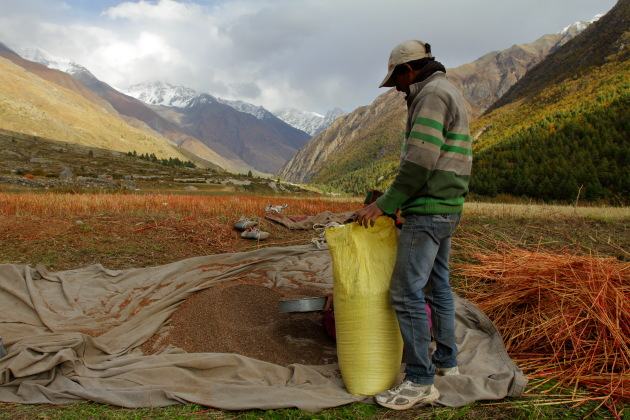 Buckwheat harvest at Chitkul, Himachal Pradesh
