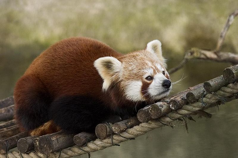 Mammals Animals: Red Panda