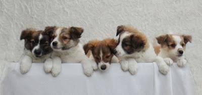 kromfohrlander pups von Wirbelsteijn