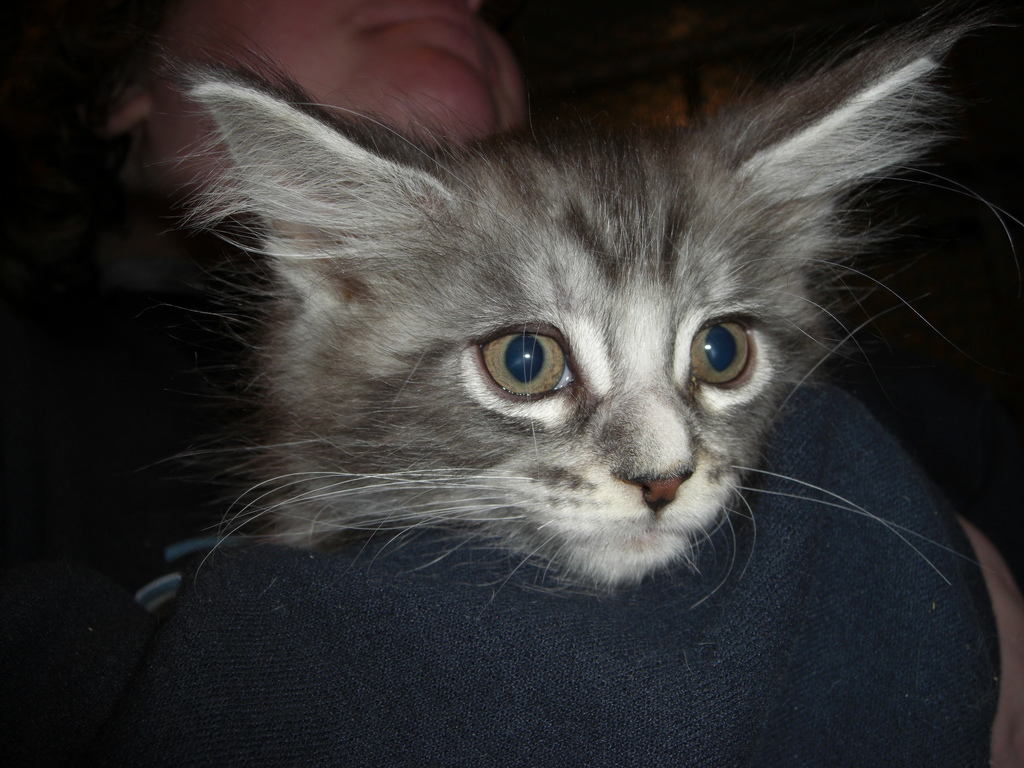 Maine Coon: 2011